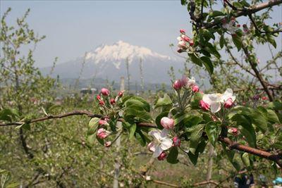 りんごの摘果体験(花摘みや摘果)
