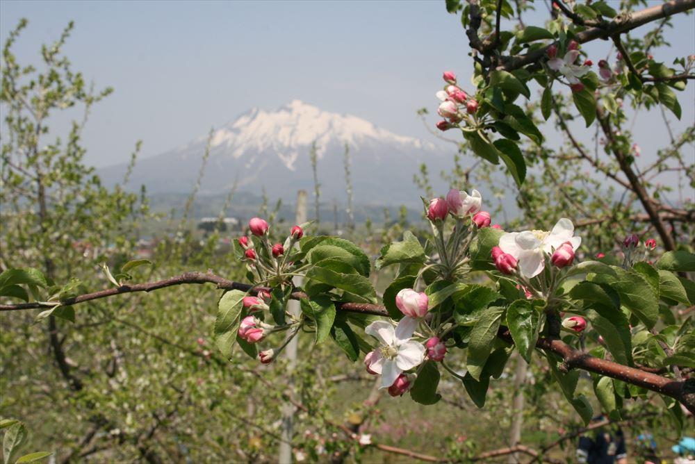 りんご花摘み、摘果画像
